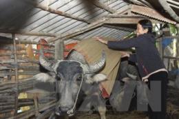 Triển khai đồng bộ các biện pháp phòng chống rét và dịch bệnh cho đàn gia súc