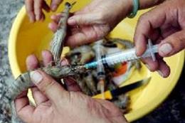 Cà Mau: Xử lý nghiêm hành vi bơm tạp chất vào tôm nguyên liệu