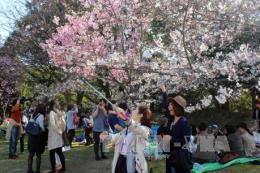 Lễ hội hoa anh đào dự kiến tổ chức vào cuối tháng 3/2018