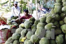 Giá thu mua sầu riêng bất ngờ giảm mạnh