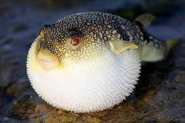 Nhật Bản kích hoạt hệ thống cảnh báo khẩn cấp vì cá nóc chứa độc trôi nổi trên thị trường