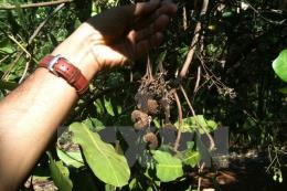 Nông dân Đồng Nai bất an vì mưa trái mùa