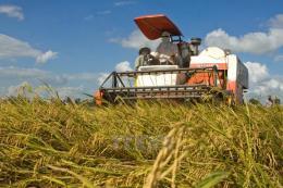 Cần Thơ được mùa, được giá lúa Đông Xuân