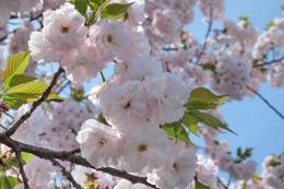Khoảng 7.000 cành hoa Anh đào Nhật Bản sẽ được triển lãm tại Hải Phòng