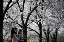 """""""Mùa hoa nở"""" - sản phẩm du lịch có tính cạnh tranh cao của Hàn Quốc"""