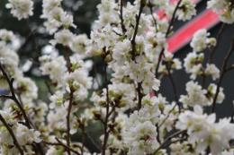 Khai mạc Lễ hội Hoa anh Đào – Mai vàng Yên Tử năm 2018