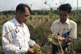 Kon Tum tìm giải pháp phòng chống bệnh chổi rồng trên cây sắn