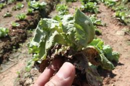 Virus tấn công vườn rau gây thiệt hại nặng cho nông dân Đà Lạt