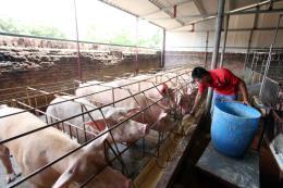 Giá lợn hơi tại Tiền Giang tăng mạnh