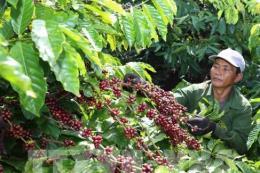 Các tỉnh Tây Nguyên sử dụng phần lớn giống mới để trồng tái canh cà phê