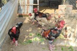 Ứng dụng kỹ thuật thụ tinh nhân tạo cho gà Đông Tảo để bảo tồn nguồn giống quý