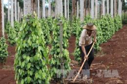 Gia Lai cảnh báo tình trạng thu mua rễ cây hồ tiêu ngay tại vùng dịch