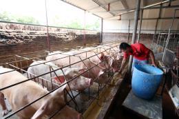Giá thịt lợn hơi tăng cao nhưng không nên tăng đàn ồ ạt