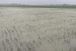 Bắc Bộ và Bắc Trung Bộ có trên 69.000 ha cây trồng bị ngập, úng