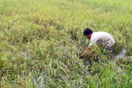 Mưa nhiều, lúa ngập, nông dân Sóc Trăng đối mặt với thất bát