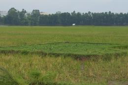 Nhiều đồng ruộng ở Vĩnh Phúc bị bỏ hoang