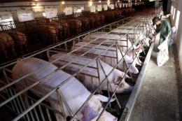 Số lượng lợn từ Đồng Nai đi miền Bắc tiêu thụ không nhiều dù chênh lệch giá