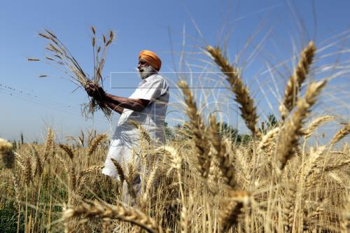 Brazil hướng tới trở thành nước xuất khẩu lúa mỳ hàng đầu thế giới