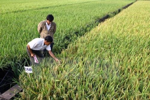Vụ lúa Đông Xuân vừa qua ở Phú Yên cho năng suất bình quân 74,8 tạ/ha, tăng 5,7 tạ/ha so với niên vụ trước và đây là niên vụ có năng suất cao nhất từ trước đến nay. Ảnh minh họa: TTXVN