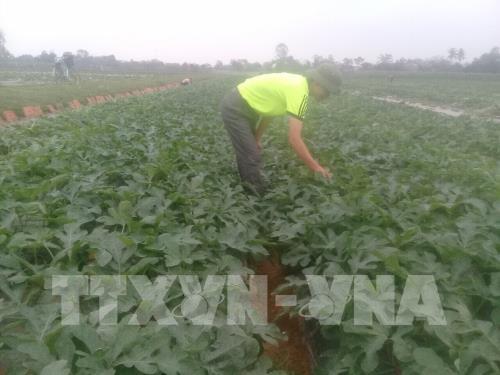 Hợp tác xã Dịch vụ nông nghiệp Nga Yên (huyện Nga Sơn) là một trong những cơ sở tiên phong ở Thanh Hóa phát triển hiệu quả mô hình liên kết sản xuất và tiêu thụ nông sản an toàn. Ảnh: Hoa Mai - TTXVN
