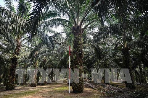 Sản lượng dầu cọ Malaysia sụt giảm trong năm 2020