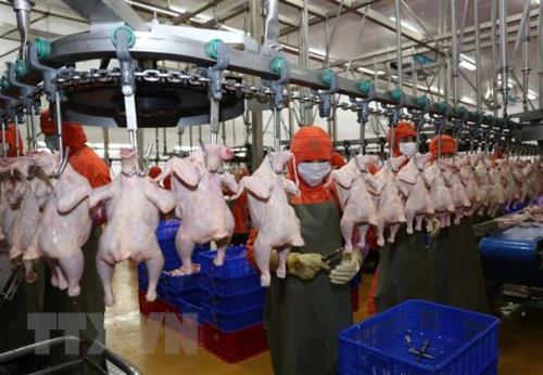 Thịt gà Việt Nam có thêm nhiều thị trường xuất khẩu