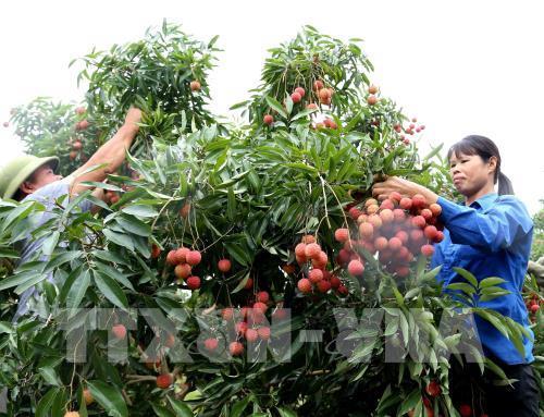 Tìm giải pháp đưa quả vải tươi sang Nhật Bản