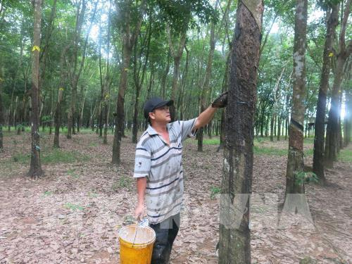 Mở rộng diện tích cao su được quản lý bền vững và cấp chứng chỉ rừng