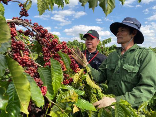 Thị trường nông sản tuần qua: Giá cà phê đi lên, tiêu lao dốc