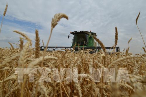Australia sắp kiện Trung Quốc áp thuế nhập khẩu bất hợp pháp với lúa mì