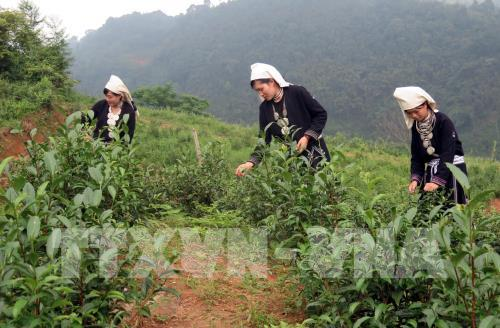 Phát triển thương hiệu chè Shan tuyết