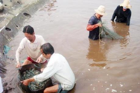 Giá cua biển giảm mạnh, người nuôi thất thu lớn
