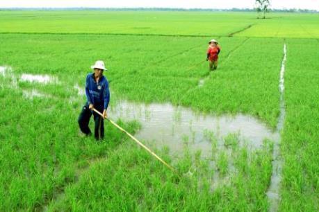 Khuyến cáo của Bộ NN&PTNT: Không dùng xi măng bón cho lúa