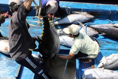 Ngư dân Bình Định trúng đậm cá ngừ đại dương