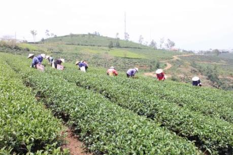 Lâm Đồng nỗ lực ổn định sản xuất tại vùng chè Cầu Đất