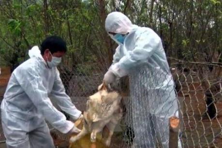 Tiêu hủy 42.000 con gà nhiễm cúm A/H5N1