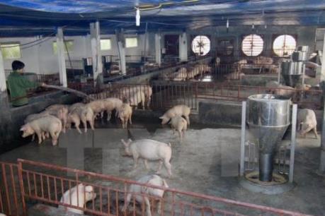 An toàn vệ sinh thực phẩm: Xử lý vi phạm sử dụng chất cấm trong chăn nuôi