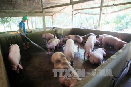 Công ty C.P Việt Nam ngưng hợp đồng vĩnh viễn với trang trại có sử dụng chất tạo nạc