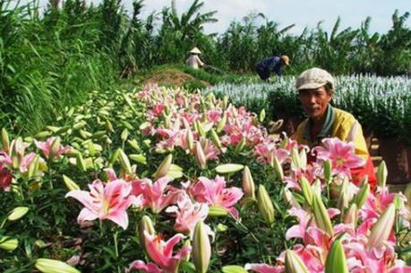 Gần 1.000 ha hoa Đà Lạt phục vụ cho thị trườngTết 2016