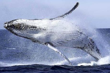 Australia phản đối Nhật Bản săn cá voi ở Nam Cực