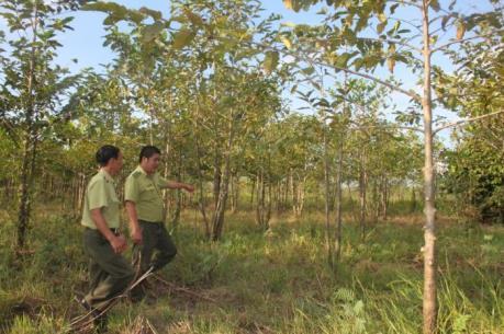 Ban quản lý rừng phòng hộ Ia Rsai bất lực trước lâm tặc?