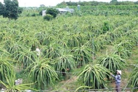 Những khuyến cáo đối với người trồng thanh long ở Long An