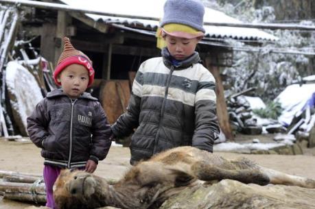 Hơn 7.100 con trâu, bò ở các tỉnh phía Bắc bị chết vì đói, rét