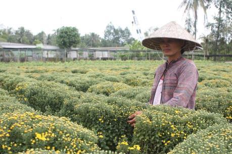 Nông dân lo lắng vì hoa Tết nở muộn