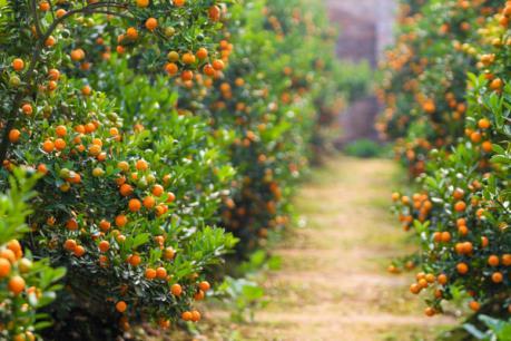 Thu tiền tỷ từ trồng quất