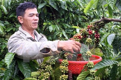 Kon Tum vẫn đủ nước tưới cho cây cà phê
