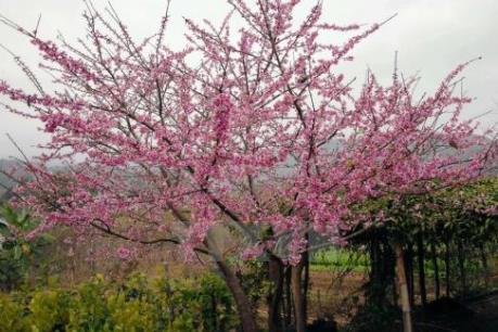 200 cây anh đào Nhật Bản sắp có mặt ở Hà Nội