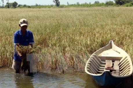 Nhiều loại dịch hại trên lúa phát sinh mạnh