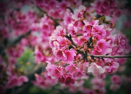 Hà Nội sẽ rực rỡ sắc hoa anh đào