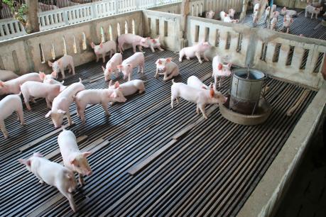 Lào cấm nhập khẩu lợn và thịt lợn để bảo vệ người chăn nuôi